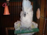 "Very sweet "" BLUE EYED COCKATOO"" Her name is Darling."