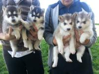 We have 3 beautiful blue-eyed huskies left ready to go