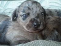2 Beautiful male pups born Aug 25 Ready for adoption