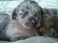 2 Beautiful Blue eyed puppies born Aug 25. Ready to