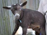 Blue eyed Nigerian Dwarf buckling, 2 months old, bottle