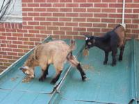 I currently have two Nigerian Dwarf Bucklings for sale