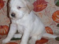 Eddie Golden Retriever Puppy Male For Sale In Brandon South Dakota