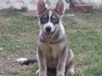 I have 1 female Husky pup left up for adoption. Healthy