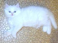 Ragdoll and Persian mixed kittens for sale. $200.00.