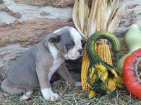 Blue fawn brindle male pup available now ! His father