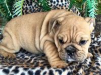 Beautiful blue fawn female English bulldog puppy, she