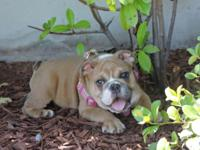 We have an amazing English Bulldogs female for sale ,