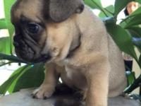 Gorgeous blue fawn (Tri) French bulldog puppy, he is