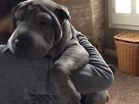 Very adorable blue female Shar Pei. Crate trained and