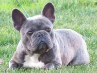 Armani Blue is a stunning Blue French Bulldog. He is dd