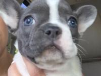 Akc registered blue French Bulldogs both males and