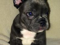 I have 3 blue french bulldog young puppies for sale.