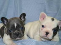 Blue Pied AKC french bulldog puppies, great pedigree