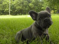 Beautiful Blue French Bulldog young puppies - we have