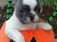 Only 4 left! Born Sept. 1. AKC French Bulldog puppies: