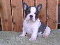 AKC Registered Blue French Bulldog Pups 3 pups in