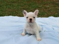 AKC Blue French Bulldog Puppy Male (white w/ blue on