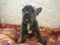 We have an 11 week aged blue french bulldog pup which