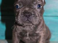 This is Oliver he is an AKC Registered Blue Frenchie