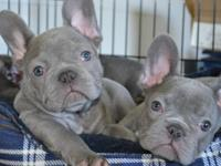 can offer my gorgeous Blue French Bulldogs 12 weeks old