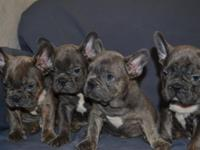 I have a litter of blue French Bulldogs. Up to date on