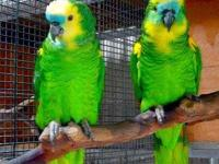 I have very very talkative female Blue Front Amazon, 1