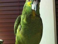 Gorgeous Blue Fronted Amazon Parrot who we call Enzo.