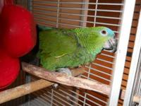 I am a very sweet blue fronted amazon. My name is