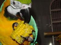 Blue and Gold adorable macaw is very friendly and