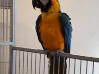 Blue Gold Macaw - Female 24 Months Old Just started to
