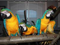 Young Blue & Gold Macaw--beautifully feathered. Very
