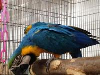 BLUE & & GOLD MACAW DNA SEXED MALE We are in Great