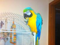 2 yrs old male and female blue and gold macaws. Very