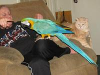 PET- blue and gold macaw, 22 years old, does not fly or