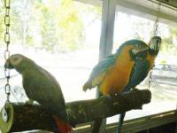 Bonded pair B/G Macaws- Young adults- $800for the pair,