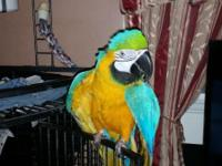 Female blue and gold makaw friendly n lovable asking