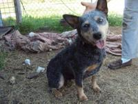 male blue heeler. born dec 18th utd on shots and