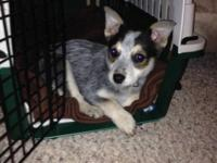 Pure breed female blue heeler puppy she's 10 weeks old