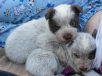 2 adorable male Queensland Heeler/ Australian Cattle