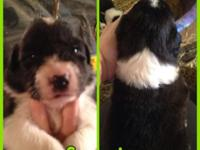 Two female and Three male blue heeler/border collie