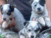 We have 3 attractive Blue Heeler babies that was family