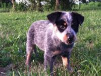 For sale. Pure bred blue heelers ( aka: Australian