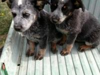We have two 11 week old female blue heeler puppies.