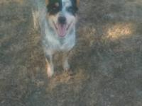 Gorgeous Blue Heeler (Australian Cattle Dog) >Girl