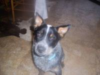 I have a 3 year old Blue heeler fixed male. He is a