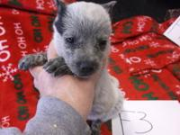 I have a litter of 10 blue heeler puppies that were