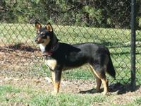 Beautiful blue heeler (aka Australian cattle dog and
