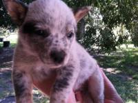 Heeler pup's born Sept 23, 1st shots, wormed & tails