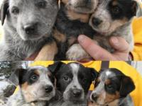 Lovable Blue Heeler (Australian Cattle canines) young